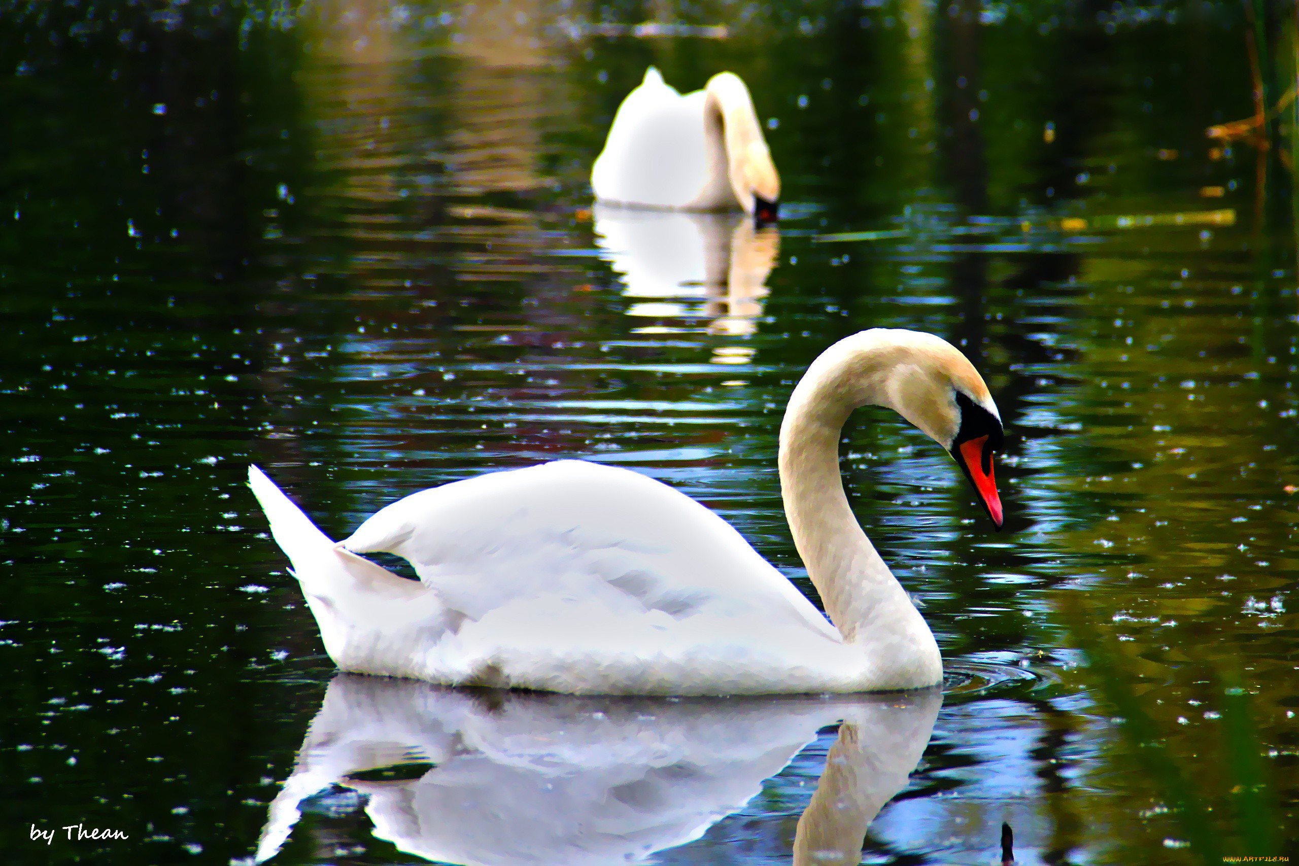 картинки необычных лебедей этом разделе можете
